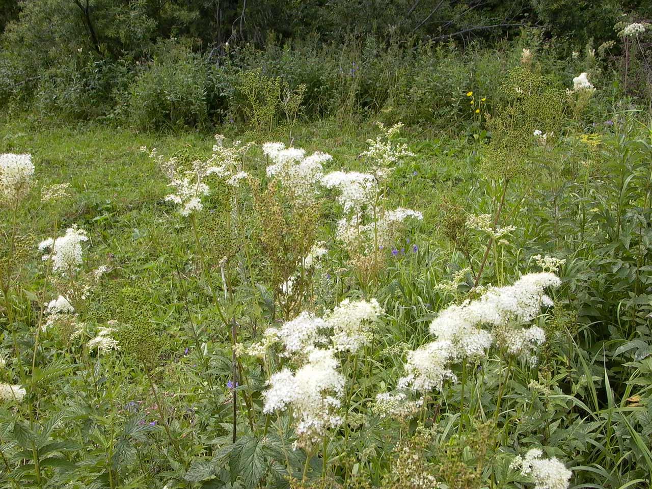 Сорняк с белыми цветами фото